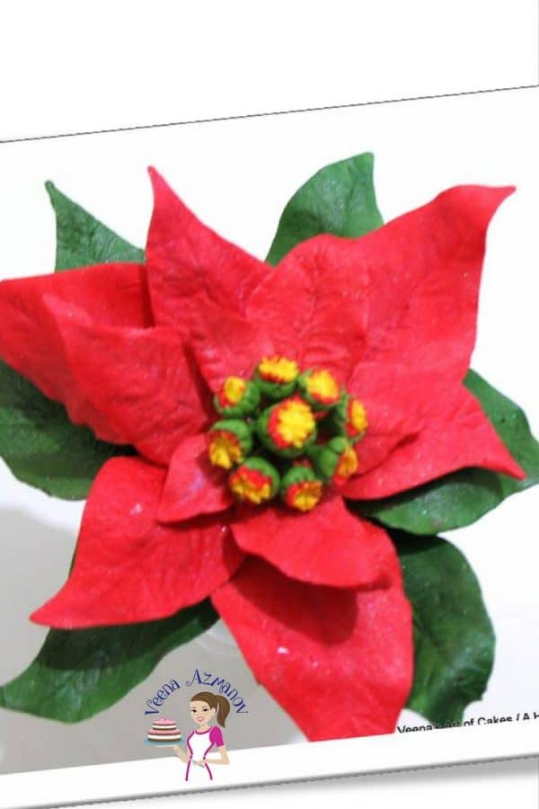 The gumpaste poinsettia is a vibrant Christmas flower that comes in a variety of colors from white, pinks and glorious deep red. An absolutely amazing flower to crate and adorn on a Christmas cake. In this post I teach you how to make a Poinsettia with simple leaf cutters if you don't have the right poinsettia cutters and vainer.